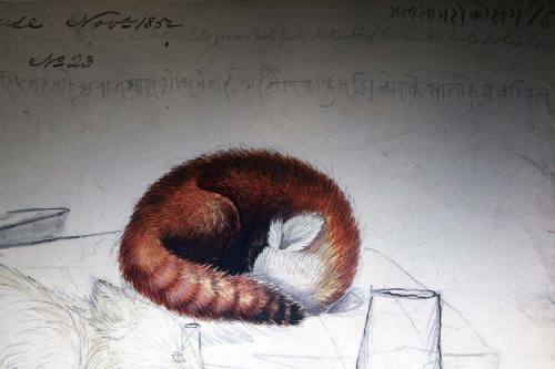 scientificillustration:  Drawing of a sleeping red panda dated 1852 in `Mammals of India' by Brian Houghton Hodgson For more information see: 'Artefact of the month - May 2009. Red panda drawings' From: RED PANDA Biology and Conservation of the First Panda Edited By ANGELA R. GLATSTON