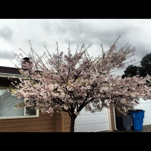 #blossoms #tree (Taken with instagram)