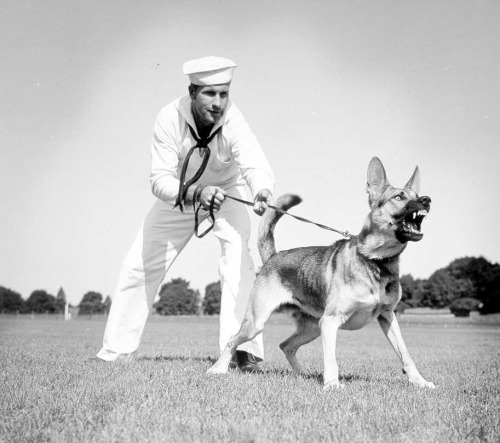 """COAST GUARD WAR DOG: Snarling and snapping a defiant warning to any and all attempts of enemy spies and saboteurs to land on our shores…this brave canine member of the Coast Guard Dog Patrol symbolizes fighting spirit.""Coast Guard Photo No. 816; date/photographer unknown."
