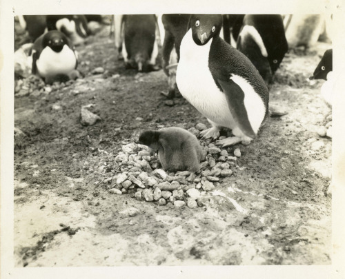 Penguins in Antarctica 1947