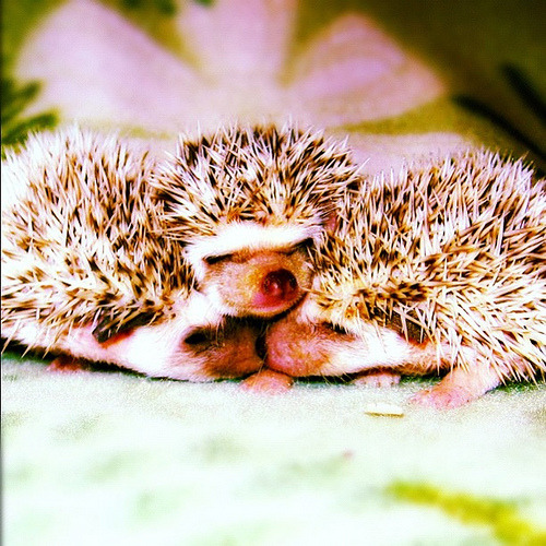 Love these #baby #hedgehogs (by hakanozerdem)