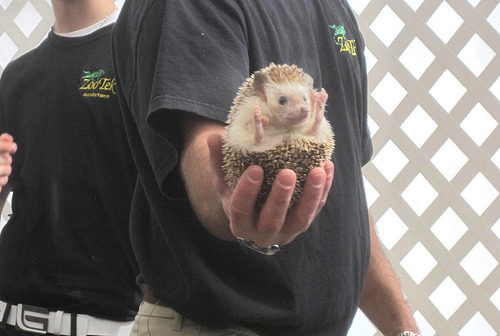 African Four Toed Pygmy Hedgehog (by DianesDigitals)