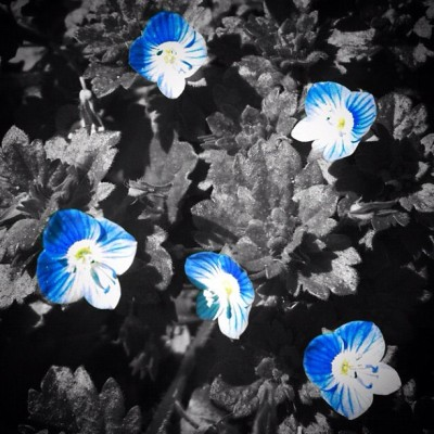 #persianspeedwell #flowers #flower #blue (Taken with instagram)