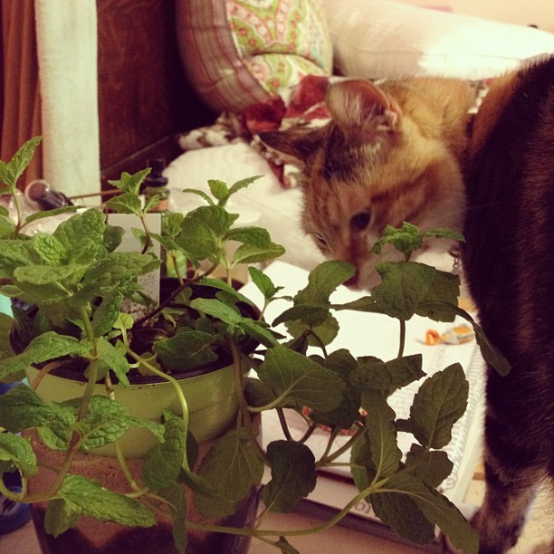 Mmm, new #mint plant! (Taken with instagram)