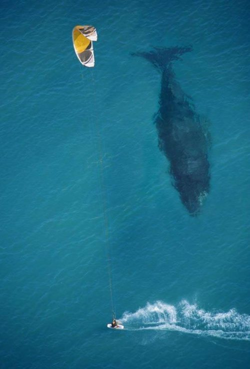 kiwi-mist:  m-ammals:  jimb0slyf3:  Windsurfing..with whales  Oh my god, I do not even know what I would do, this would be BREATHTAKING!  holy fuuuuuuhhhhh im deathly afraid of whales i would probably fall in then shamu would attack me and i would die and become a mermaid YAY