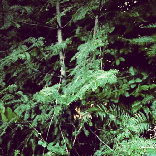 #trees #tree #green #fern #plantlife #humboldtcounty #pretty #serene  (Taken with instagram)