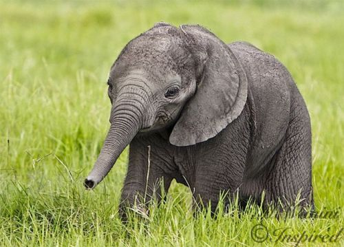 llbwwb:  Baby Elephant,Todays Cuteness :) by Miaivi@Inspired