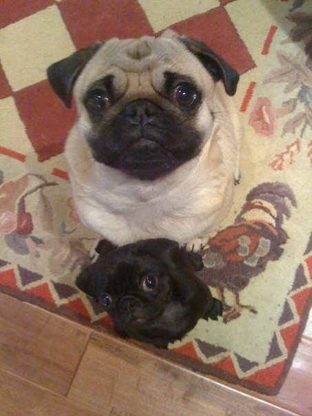 These are my pugs, Miso and MuShu!