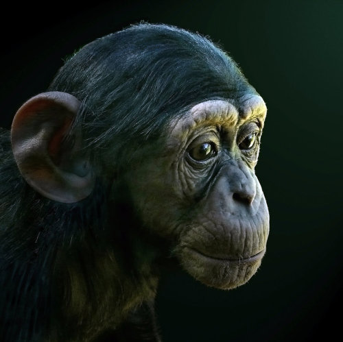 kingdomofanimals:  Portrait of a Baby Chimpanzee by Julie Mavros
