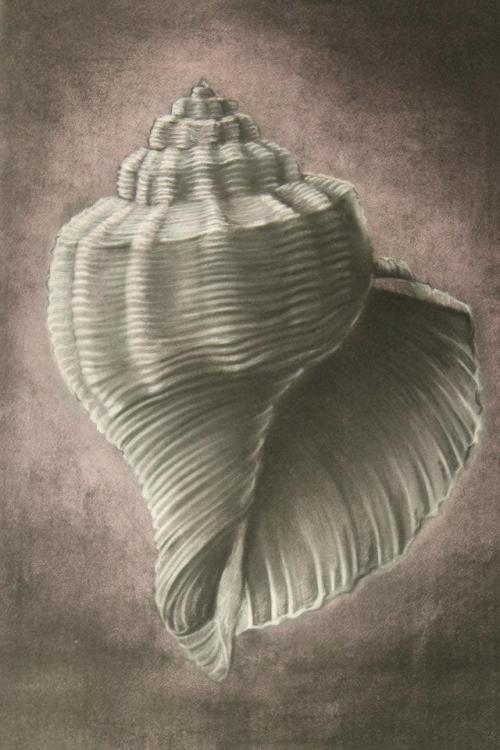 a  better photo of my seashell  charcoal, and white media on stained paper