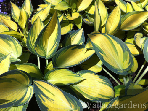 Hosta 'June' for the shade garden.