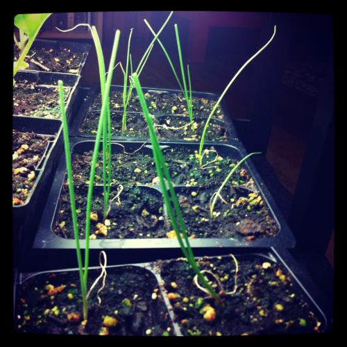"My onions were pretty droopy so I cut about 2"" off the top. Now they stand up straight!"