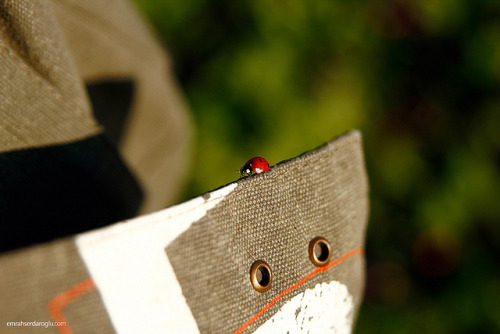 Coccinellidae on Flickr.