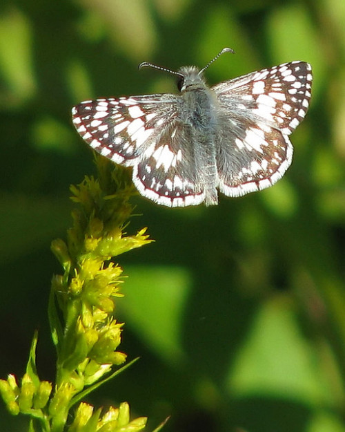 a November Checkered-skipper by Vicki's Nature on Flickr.
