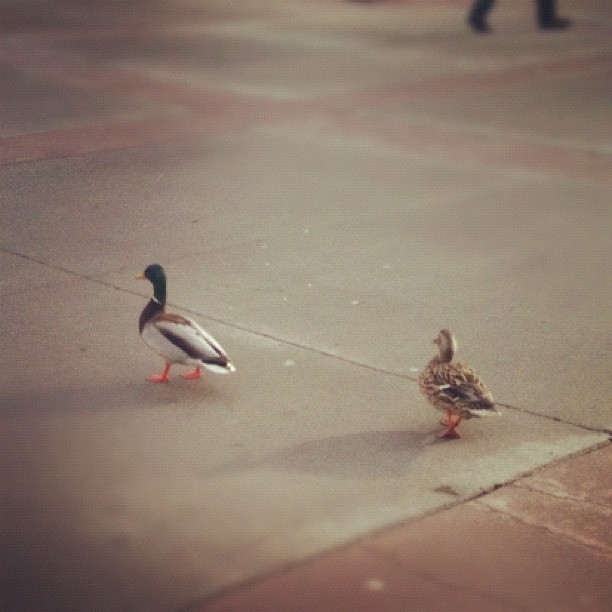 This picture is months overdue, but here are the campus ducks @benrankel (Taken with Instagram at SAIT Polytechnic)