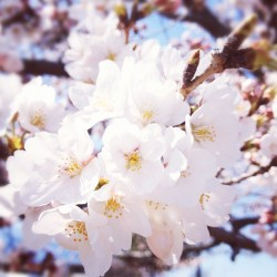 cherry blossom - @tuki_siro- #webstagram