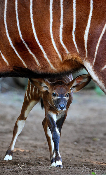 guardian:  A two week-old eastern bongo calf looks out from under her mother at Sydney's Taronga zoo. Eastern (or highlands) bongos are critically endangered with as few as 75 remaining in small groups of 6-12 animals in their Kenyan upland range. Bongo are one of the largest species of antelope in the world and are recognised by their striking russet colour and large antlers which extend over their backs Photograph: William West/AFP/Getty Images