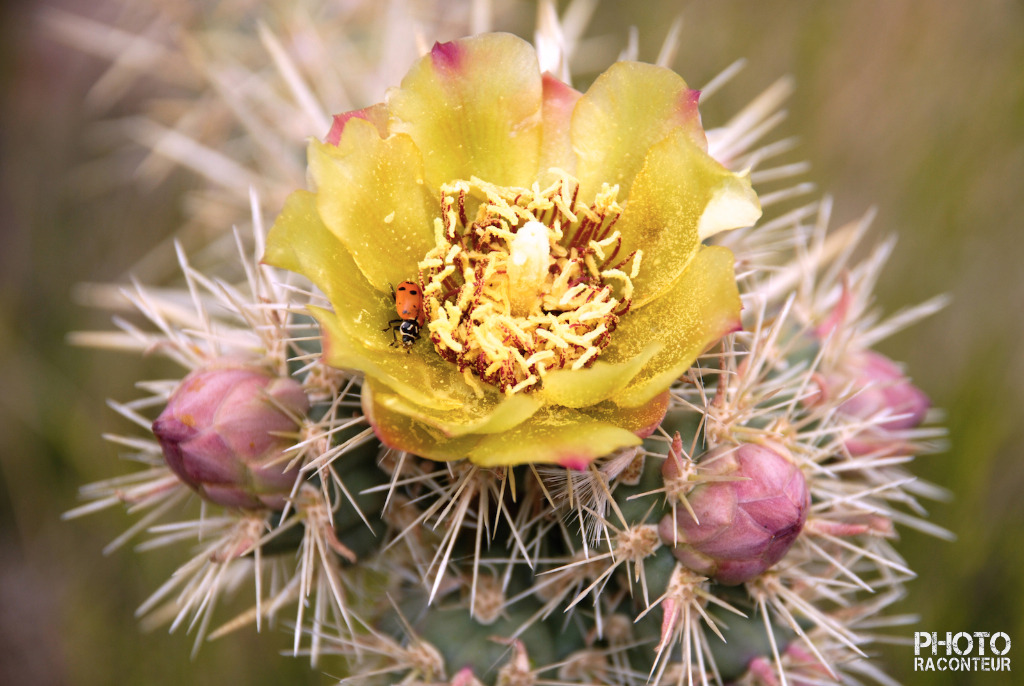 """Ladybug & Cactus Flower"" by Benjamin Padgett  Now available as a stunning Limited Edition MetalPrint!  I wandered upon this fine ladybug hanging out in the Spring bloom of a Cholla Cactus while in the Red Rock Canyon National Conservation Area one afternoon. Beyond the Las Vegas Strip, finding colorful subjects to photograph in the Nevada desert can certainly be challenging, so I was delighted!"