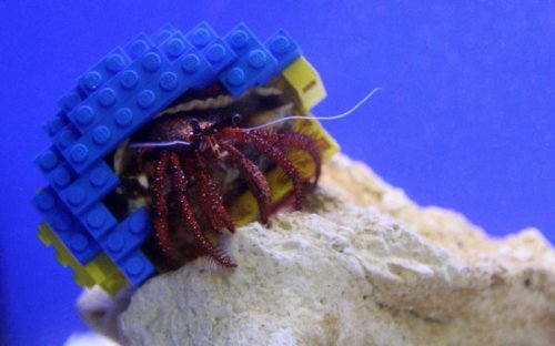 Crab Has Shell Made of LEGO   2012 - Crabs learn to use simple toys. 2025 - Crabs take over the world.