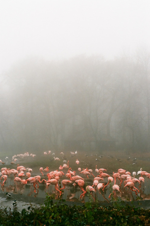 One of my earliest memories is of flamingos. It must have been at the San Diego zoo, when I was very young, in an artificial scene that looked very much like this one. That's when I heard that they were pink because of the shrimp that they eat, although I don't remember if I asked about their color or if my parents just read the information off the little placard affixed to the railing.