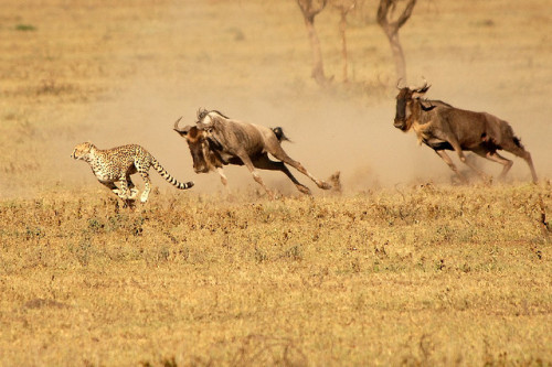 worldlyanimals:  Cheetah Chased! by Andrew Molinaro on Flickr.