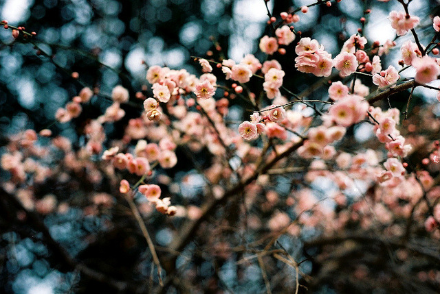 flowering by ditao on Flickr.