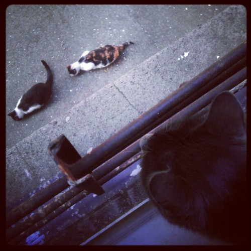 Momiji watching the other kitties hehehe (Taken with instagram)