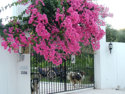 Gate with Bougainvillea by RobW_ on Flickr.