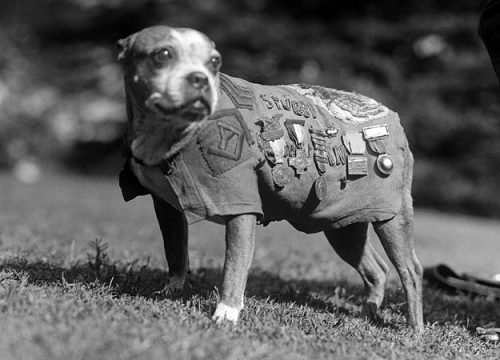Stubby the DogSgt. Stubby, who served with the 102nd Infantry Division and the 26th Yankee Division during World War I, was one of the most famous war dogs in U.S. history. Stubby served 18 months in Europe, participated in 17 battles and is the only dog to receive a sergeant ranking. During the war, he warned American soldiers of incoming chemical attacks and spies and accompanied the men on raids and patrols. The canine sentry became an instant American hero and upon his return home led parades, met three presidents, and became a lifelong member of the YMCA and the American Red Cross. Stubby was also Georgetown University's mascot.