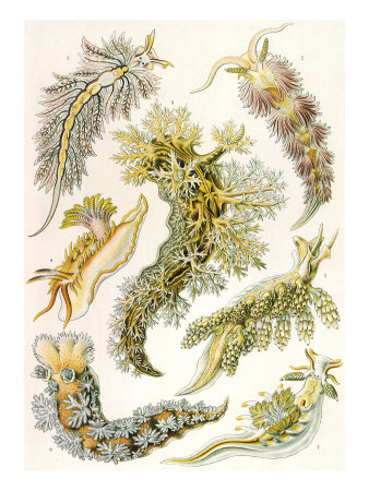 juliamckenzieartist:  British Sea slugs 1904. Can't find there original provenance. Don't you just love them- aliens from the deep