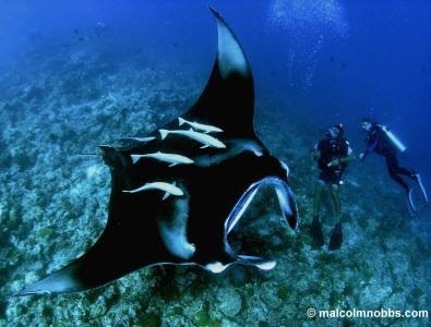 "piratesheart:  ""Unfortunately it's [manta rays'] gill rakers which make mantas a target for unsustainable fishing. Traded for use in Chinese medicine, the market for gill rakers is on the rise."" (via Magnificent Manta Rays Deserve a Big Shout Out 