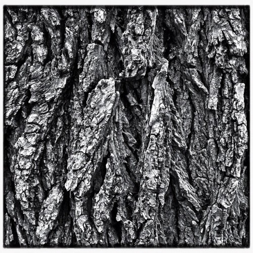 Tree bark #iphone #procamera #snapseed #bw # tree  (Taken with Instagram at Ralya Elementary School)