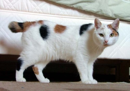 Inkuu the Japanese bobtail This file is licensed under the Creative Commons Attribution-Share Alike 2.0 Generic license.