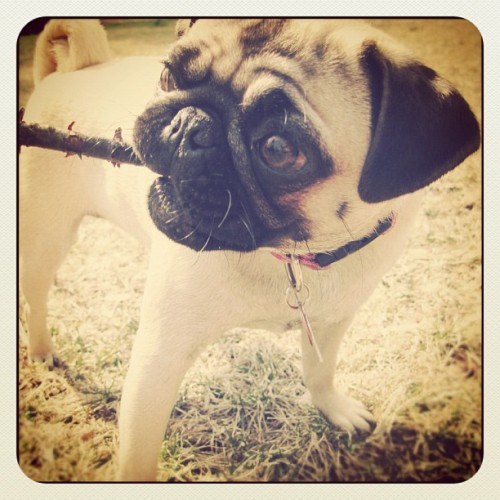 Stella loves sticks! Please follow @itsjustmeaj ! #pugsofinstagram #pug #pugs  (Taken with instagram)