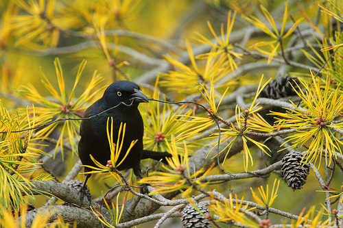 cey-lon:  Common Grackle: Prized Twig (by TheNatureDude)