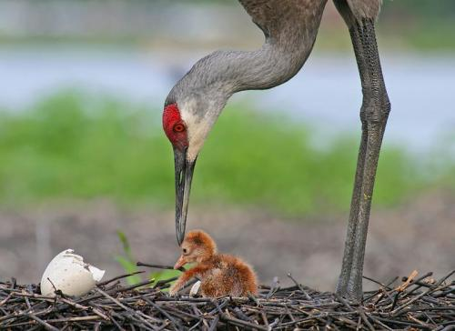 Sandhill Crane Hen with Hatchling by Jim Neiger