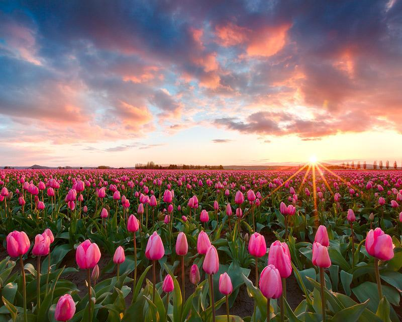 llbwwb:  Tulip Time by Kevin Pieper / A rare colorful sunset from the Skagit Valley Tulip Festival in Washington state.