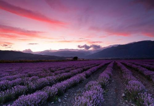 llbwwb:  God's Paintbrush: Lavender Field by Wander  This makes me this of an episode of Modern Family. :)