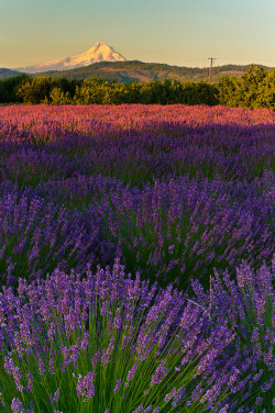 thelittlefrenchbullblog:  (via Lavender Fields | Flickr - Photo Sharing!)