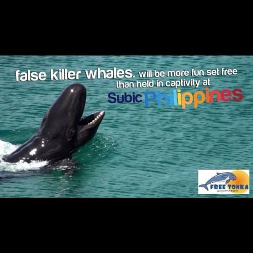 This is Tonka. The last surviving false killer whale in Ocean Adventure. Six of his friends already died. Help save Tonka & other captive animals. Please like FREE TONKA on Facebook & follow @FreeTonka on Twitter. Contribute posts & tweets for #freetonka #tweet4tonka #no2animalcaptivity  (Taken with instagram)