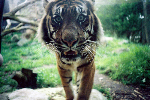 t0rpe:  Kitty kitt kitty (by evetseht)