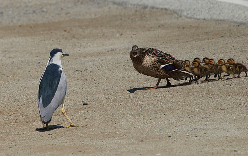 fat-birds:  You keep your distance mister heron by jsutton8 on Flickr. Mama Duck: 1, Night Heron: 0.