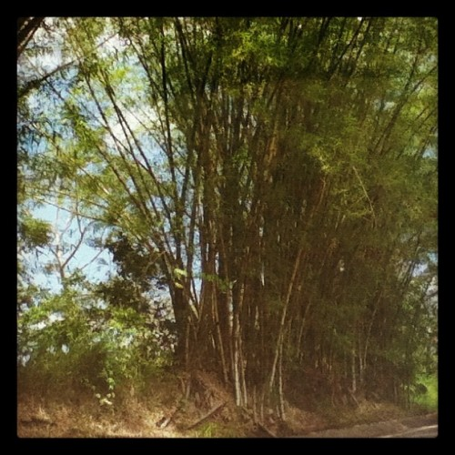 #road #tall #leaves #spring #puertorico #nature #laspiedras #sky #clouds #blue #green  (Taken with instagram)
