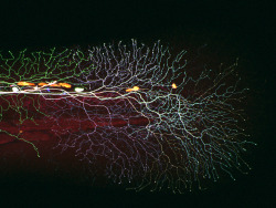 "fuckyeahmolecularbiology:  Sensory axons (long, slender nerve fibres) covering the tail of a 3-day-old larval zebrafish. This is a ""Brainbow"" image made using confocal microscopy. In the Brainbow technique, cells randomly choose combinations of red, yellow, and cyan fluorescent proteins, so that they each glow a particular color. This provides a way to distinguish neighbouring cells of the nervous system and follow their individual pathways."
