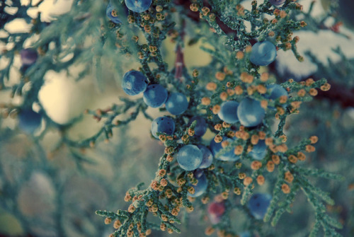 collectsomestars:  juniper berries by mrs. french on Flickr.