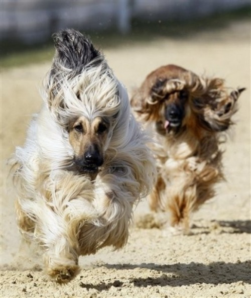 Racing Afghan hounds. (Photo via DayLife)
