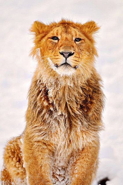 kingdom-of-animals:  Jasraj knows how to pose!… by Tambako the Jaguar on Flickr.