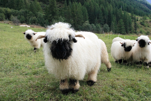 loveyourchaos: They're Valais Blacknose Sheep from Switzerland.