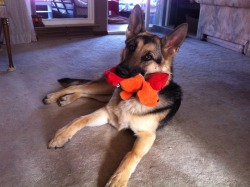 This is my german shepherd puppy, Daisy :) Today is her first birthday. She was rescued at 6 weeks old from a horrible breeder, and was one of five puppies from a litter of thirteen to survive. She was lucky. Daisy is the sweetest, most loving, outgoing pup ever, and I love her to pieces. If you have the option, please don't buy from unlicensed breeders or puppy mills. And better yet, rescue a dog or a puppy in need. It will genuinely be one of the greatest decisions you can make.Happy 1st Birthday, Daisy :) Love love love.