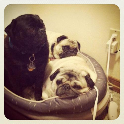 mugsofpugs:  AS CLOSE AS CAN BE, IN A TEENSY BED THAT HAS A HEATING PAD TO LOSEN OUR JOINTS! submitted by Sarad